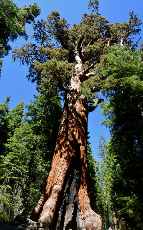 Giant Sequoia in Tuolumne Grove in Yosemite